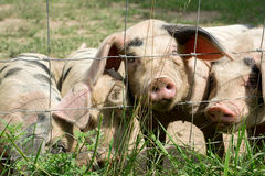 Happy Little Pigs. On a farm Royalty Free Stock Photos