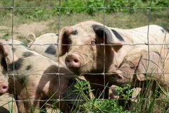 Happy Little Pigs. On a farm Stock Photo