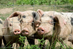 Happy Little Pigs. On a farm Stock Images
