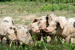 Happy Little Pigs. On a farm Royalty Free Stock Images