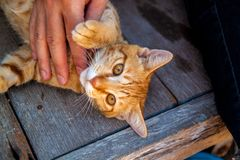 Happy little red cat is pleased with hand stroking. royalty free stock image