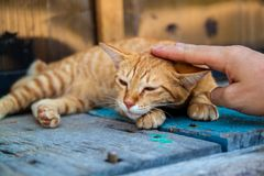 Happy little red cat is pleased with hand stroking. stock photography