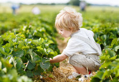 Happy little toddler boy on pick a berry farm picking strawberri Stock Image