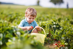 Happy little toddler boy on pick a berry farm picking strawberries  Royalty Free Stock Photo
