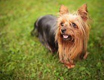Happy little yorkshire terrier puppy dog panting. In the grass Royalty Free Stock Photography