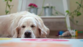 Happy lives of pets at home - beautiful big dog resting in the room stock video footage