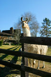 A Happy Llama. A llama looking at the camera Stock Photography