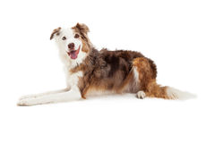 Happy Looking Border Collie Dog Laying Royalty Free Stock Photos