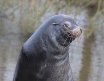 Happy looking California sea lion. California sea lion closeup of the head. Foto taken in Wildlands zoo in Emmen Royalty Free Stock Images