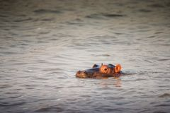 Single cute hippo calf semi-submerged in green waters. South Afr stock image