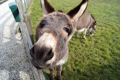 Happy looking donkey Royalty Free Stock Images