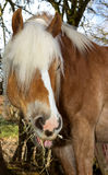 Happy looking horse is eating hey Royalty Free Stock Photos