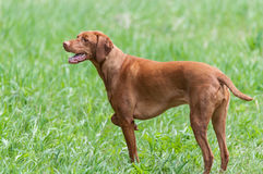 Happy Looking Vizsla Dog Standing In A Green Field Stock Photos