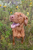 Happy Looking Vizsla Dog with Wild Flowers. A Happy Looking Vizsla Dog (Hungarian Pointer) Standing in a Field with Wild Flowers Stock Photos