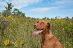 Happy Looking Vizsla Dog with Wild Flowers. A Happy Looking Vizsla Dog (Hungarian Pointer) Standing in a Field with Wild Flowers Royalty Free Stock Photo