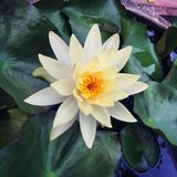 Happy lotus. Yellow lotus in water Royalty Free Stock Photos