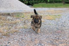 Happy lovely cutie German Shepherd puppy running at outside home. Happy lovely cutie German Shepherd puppy running at outside home Stock Photo