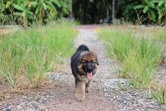 Happy lovely German Shepherd puppy playing in green grass nature on the yard. Stock Photography