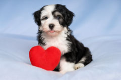 Happy Lover Valentine Havanese puppy is sitting on a blue blanke. A happy lover valentine havanese puppy dog with a red heart is sitting on a blue blanket Royalty Free Stock Photo