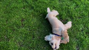 Happy male dog rolling on green grass stock video