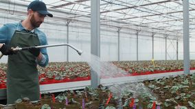 Happy male Gardener Waters Plants and Flowers with a Hosepipe in Sunny Industrial Greenhouse. Happy male Gardener Waters Plants and Flowers with a Hosepipe in stock footage