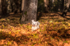 Happy Maltese Dog is Running on the Autumn Leaves Ground. Royalty Free Stock Images