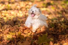Happy Maltese Dog is Running on the Autumn Leaves Ground. Open M Royalty Free Stock Photo
