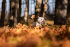 Happy Maltese Dog is Running on the Autumn Leaves Ground. Open M Stock Photo