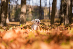Happy Maltese Dog is Running on the Autumn Leaves Ground. Open M Stock Photography