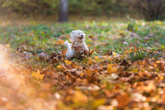 Happy Maltese Dog is Running on the Autumn Leaves Ground. Open M Royalty Free Stock Image