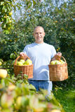 Happy man gathers apples Stock Photography