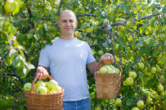 Happy man picking apples Royalty Free Stock Photos