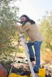 Happy man pruning olive tree in farm Stock Photo