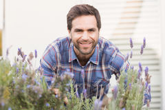 Happy man smelling his lavender plant Royalty Free Stock Photos