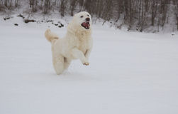 Happy maremma sheepdog running in the snow Stock Image