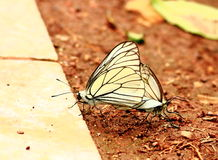 A pair of  mating  butterflies. On the ground Stock Images