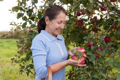 Woman in garden  picking apples Stock Image