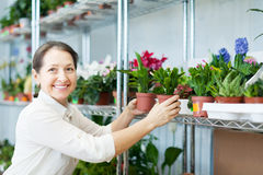 Woman chooses Schlumbergera  at flower shop Royalty Free Stock Photos