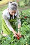 Happy mature woman picking up tomatoes in garden Royalty Free Stock Photo