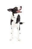 Happy Medium Size Crossbreed Dog Looking Up Stock Photos