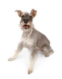 Happy Miniature Schnauzer Dog. A happy miniature Schnauzer dog against a white backdrop royalty free stock photos