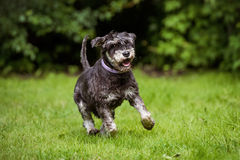 Happy miniature schnauzer dog running on grass. Miniature schnauzer breed dog outdoors stock photo