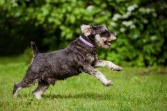 Happy miniature schnauzer dog running on grass royalty free stock image