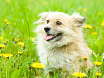Happy mixed breed dog in flower field of yellow da Stock Image