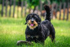 Happy mixed breed dog playing with a ball in the green, sunny garden Royalty Free Stock Photo