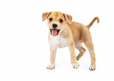 Happy Mixed Breed Playing Royalty Free Stock Photo