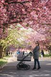 Happy mom walk with her little baby girl in stroller. Background of pink sakura tree stock photo