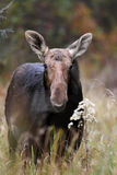 Happy Moose Royalty Free Stock Photography