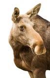 Happy moose Stock Image