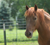 Happy Morgan horse in green pasture. Pretty red Morgan horse in a rich green summer pasture with a fence stock images